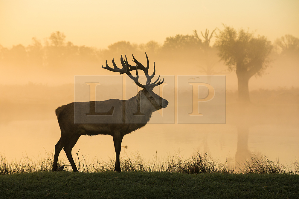 © Licensed to London News Pictures. 30/10/2017. London, UK. A stag at sunrise in Bushy Park where plummeting overnight temperatures caused the first frost of the winter season. Photo credit: Rob Pinney/LNP