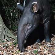 The Malayan tapir (Tapirus indicus), also called the Asian tapir, is the largest of the five species of tapir and the only one native to Asia. The scientific name refers to the East Indies, the species' natural habitat.