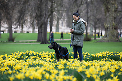 © Licensed to London News Pictures. 01/03/2017. London, UK. A woman walks her dog among yellow daffodils in St James's Park on the first day of meteorological Spring. Photo credit: Rob Pinney/LNP