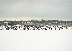 Field of Canadian Geese in East Hampton,NY