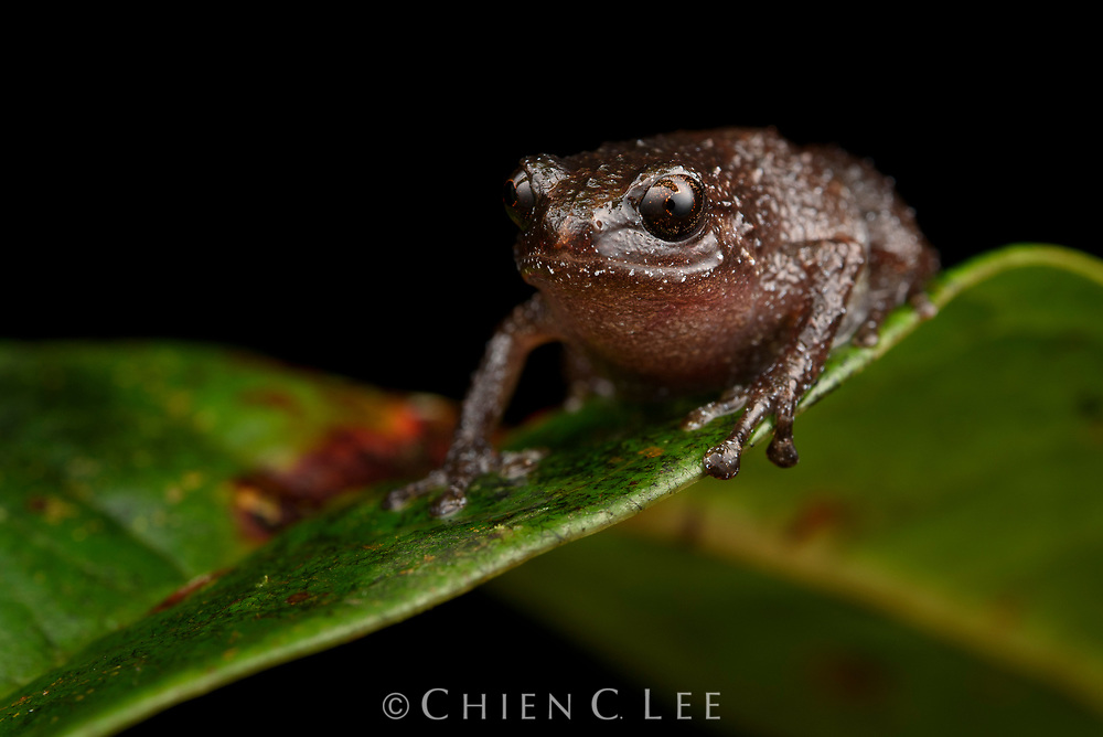 Oreophryne variabilis. Widespread in Sulawesi, the loud calls of this tiny bush frog are a common sound in cool and wet mossy montane forests. South Sulawesi, Indonesia.