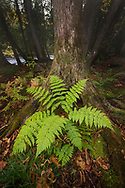 One of many beautiful fern scattered through the forest near the Sturgeon River.  <br />