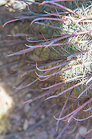 "Close-up look at the fishhook-like spines of the aptly-named fishhook barrel cactus, this one found and photographed between the Ajo and Puerto Blanco Mountains ranges in the Sonoran Desert in Southern Pima County, Arizona. This rather common large barrel cactus found in the Sonoran and Chihuahuan Deserts of the American Southwest with a range stretching from Arizona through New Mexico to Texas, as well as south of the border into the northern parts of the Mexican states of Sonora and Chihuahua. Bright yellow fruit emerge and develop throughout the year after its bright orange blossoms are pollinated in summer, and by the following spring they will look like this. As with many cacti, it has many regional names such as the Arizona barrel and biznaga-barril de Nuevo México and is found in open rocky ground, shrub-steppe, chaparral and at the base of desert hills and mountains where there is some gathering of water during seasonal rains. Mature plants can reach upwards of 5 feet tall, and live to 50 to 130 years, and as they get larger, they will tend to lean to face south or southwest-ward, which is why come people also call it the compass cactus. Vicious recurved spines (or ""fishhooks"") protect it from predators such as javelinas, and the fleshy yellow fruits are an important food source for birds, mule deer, and javelinas."
