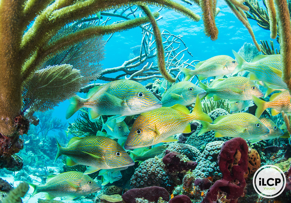 A school of grunt inhabits a coral reef inside the Exuma Cays Land and Sea Park - The Bahamas oldest Marine Protected Area.