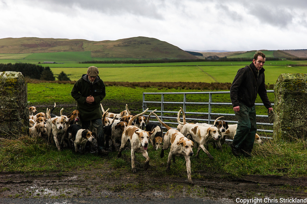 Jedburgh, Scottish Borders, UK. 17th December 2015. Hounds of the Jedforest Hunt make their way through a gateway in muddy conditions on another wet day in the Scottish Borders.
