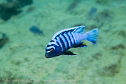 "A male Cynotilapia zebroides ""White Top"" swims near a rocky reef at Likoma Island, Lake Malawi, Malawi, Africa."