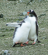 """A Gentoo Penguin chick (Pygoscelis papua) requests food from an adult on Aicho Island, Antarctica. An adult Gentoo Penguin has a bright orange-red bill and a wide white stripe extending across the top of its head. Chicks have grey backs with white fronts. Of all penguins, Gentoos have the most prominent tail, which sweeps from side to side as they waddle on land, hence the scientific name Pygoscelis, """"rump-tailed."""" As the the third largest species of penguin, adult Gentoos reach 51 to 90 cm (20-36 in) high. They are the fastest underwater swimming penguin, reaching speeds of 36 km per hour."""