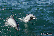 Hector's dolphin, Cephalorhynchus hectori, porpoising out of water, Endangered Species, endemic to New Zealand, Akaroa, Banks Peninsula, South Island, New Zealand ( South Pacific Ocean )