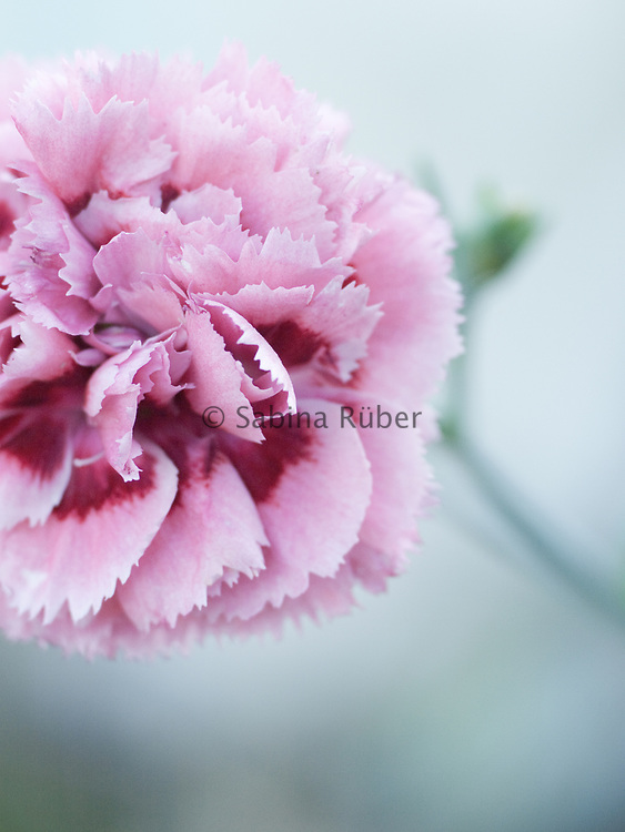Dianthus 'Summertime' (Rose Monica Wyatt) - pink