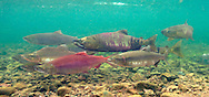 Sockeye Salmon (with Chum Salmon)<br />