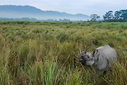 Indian Rhinoceros (Rhinoceros unicornis)<br /> Greater one-horned rhinoceros<br /> Indian one-horned rhinoceros<br /> Kaziranga National Park<br /> Assam<br /> North East India<br /> UNESCO World Heritage Site<br /> Vulnerable