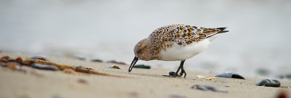 The Sanderling (Calidris alba, syn. Crocethia alba / Erolia alba) is a small wader. It does not breed in Iceland but It is a circumpolar Arctic breeder, and is a long-distance migrant, wintering south to South America, South Europe, Africa, and Australia. It is highly gregarious in winter, sometimes forming large flocks on coastal mudflats or sandy beaches.