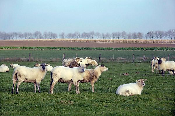 Nederland, Groesbeek, 26-11-2010Schapen lopen in de wei.Foto: Flip Franssen/Hollandse Hoogte