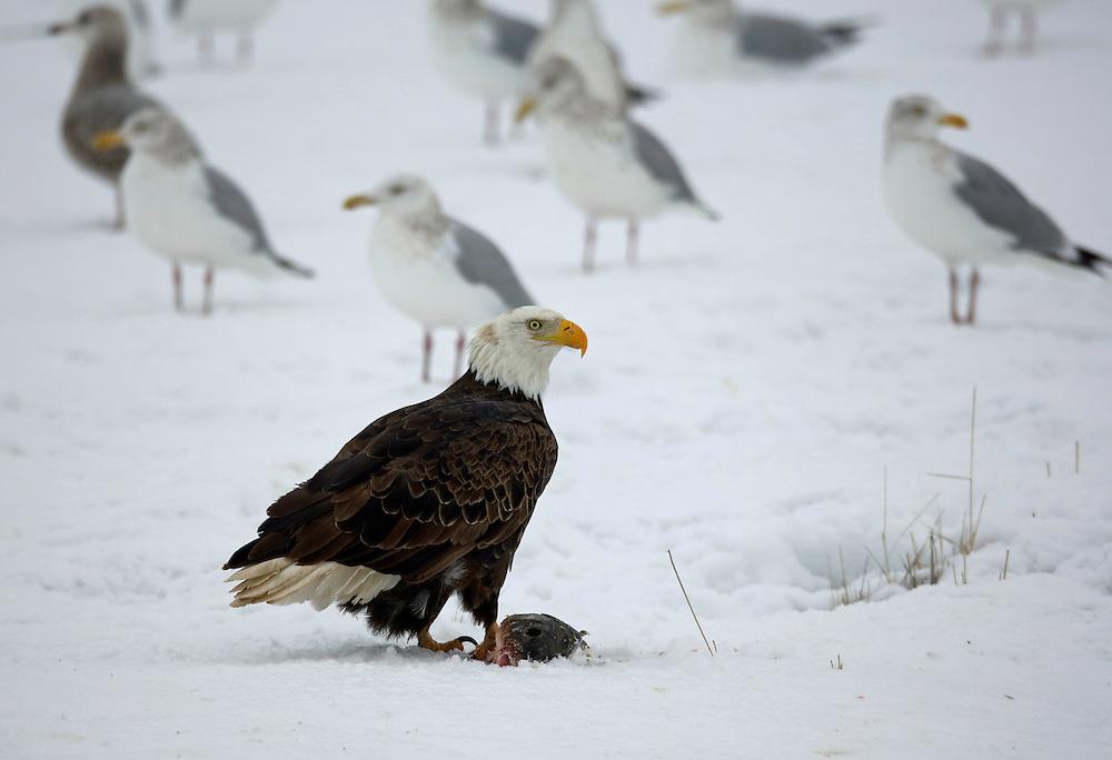 Bald Eagle with Sea Gull background, Great Salt Lake Utah