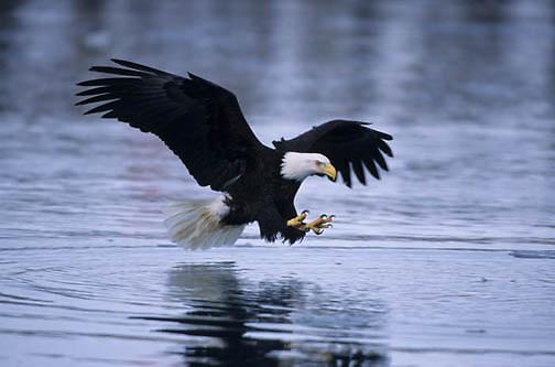 Bald Eagle, (Haliaeetus leucocephalus) Adult fishing. Alaska.