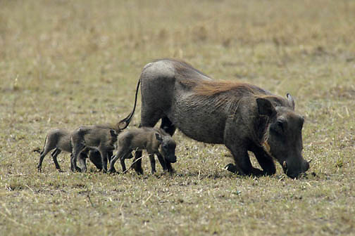 Wart hog, (Phacochoerus aethiopicus) Mother and babies grazing. Masai Mara Game Reserve. Kenya. Africa.