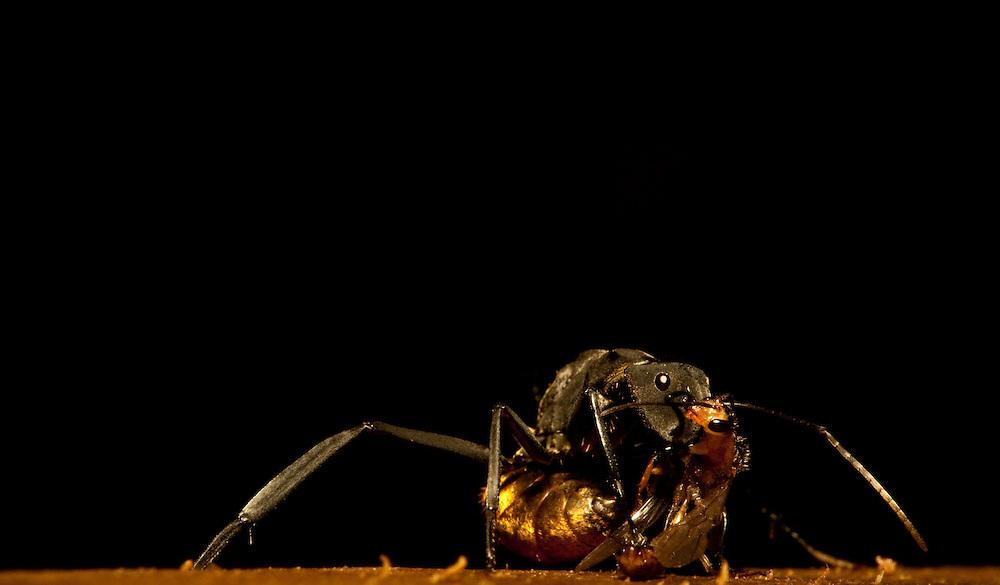 Ant wrestling a wasp, Guatemala