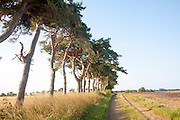 A line of Scots pine trees marking an field boundary in the countryside, Shottisham, Suffolk, England, UK