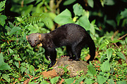 Tayra<br />