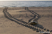 Australian flatback sea turtle, Natator depressus, female climbs beach in order to nest, leaving tractor-like tracks behind her, Crab Island, off Cape York Peninsula, Torres Straits, Queensland, Australia