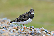 Turnstone- Arenaria intepres - winter