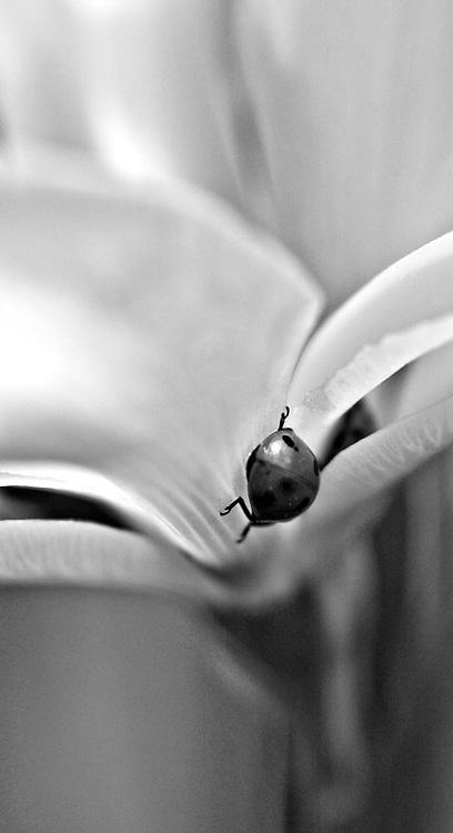Lady Bug crawling on flower