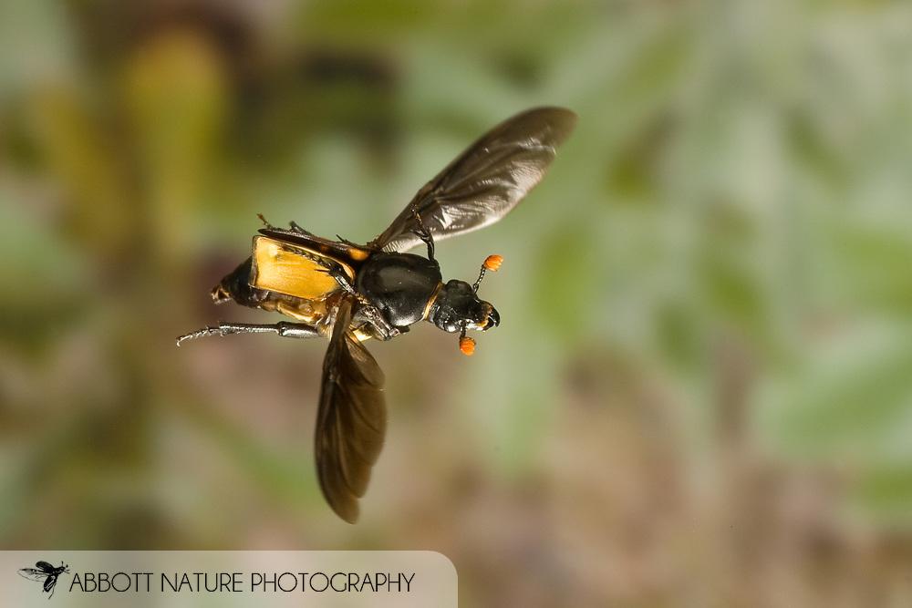 Burying Beetle (Nicrophorus carolinus)<br />  in flight; high speed flash <br /> TEXAS: Lamar Co.<br /> Camp Maxey National Guard; Austin<br /> 2-Oct-2008<br /> J.C. Abbott