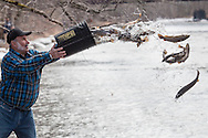 Jack Michulski of the Orange County Federation of Sportsmen's Clubs tosses trout from the Department of Environmental Conservation into the Neversink River  in Cuddebackville, New York, on the opening day of trout season in New York State.  The DEC stocked 5,450 yearling brown trout and 550 2-year-old brown trout in the Neversink.