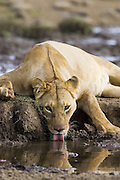 Lion<br /> Panthera leo<br /> Adult female drinking<br /> Masai Mara Reserve, Kenya