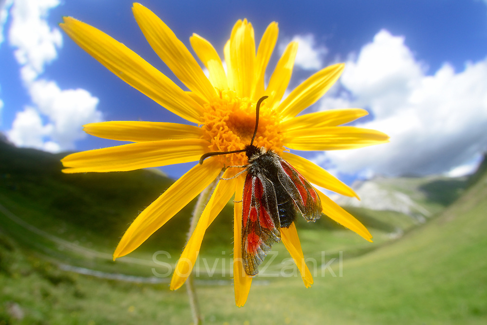 Mountain burnet (Zygaena exulans), Scotch burnet on wolf's bane (Arnica montana), mountain arnica.  High Tauern National Park (Nationalpark Hohe Tauern), Central Eastern Alps, Austria | Hochalpen-Widderchen (Zygaena exulans), Hochalpenwidderchen auf Arnika (Arnica montana) Jagerhaus Alm, Nationalpark Hohe Tauern, Osttirol in Österreich