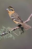 Black-headed Grosbeak - Pheucticus melanocephalus - 1st autumn male