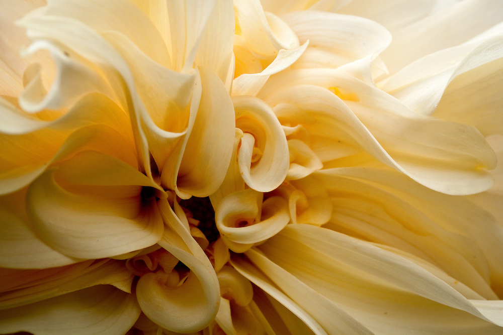I caught this dahlia at the botanical gardens several years ago. I've looked for it since, but it must have made a one-season appearance.