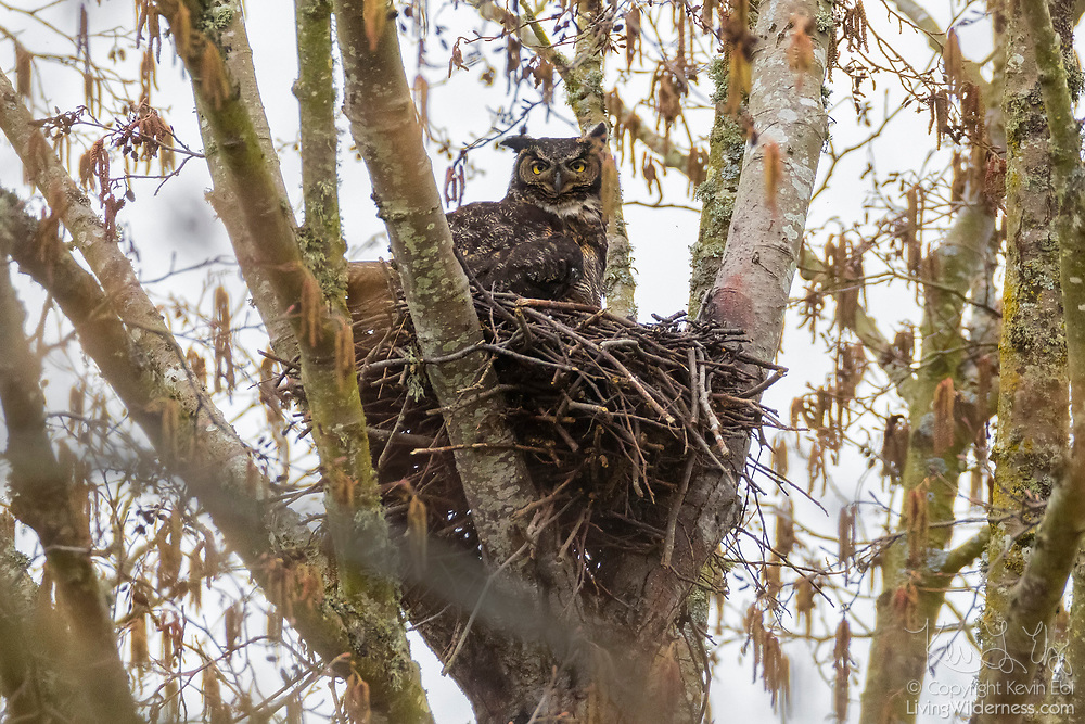 A great horned owl (Bubo virginianus) protects its young on its nest near Wiley Slough in the Skagit Wildlife Area near Mount Vernon, Washington.