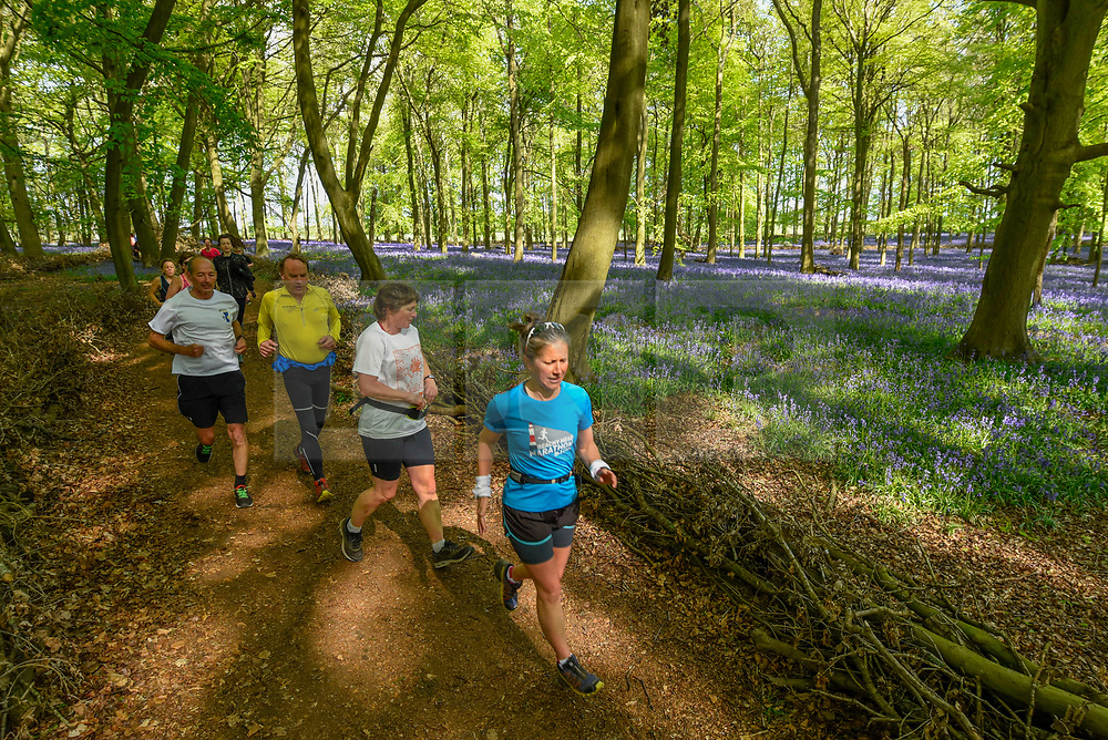 © Licensed to London News Pictures. 30/04/2019. ASHRIDGE, UK. Members of a running club pass by the bluebells bloom in Dockey Wood, Hertfordshire.  As the popular location experiences high numbers of visitors, the National Trust has imposed an entrance fee in recent years during busy periods with barricades of twigs and branches to demarcate pathways to protect the delicate flowers from being trampled.  Photo credit: Stephen Chung/LNP