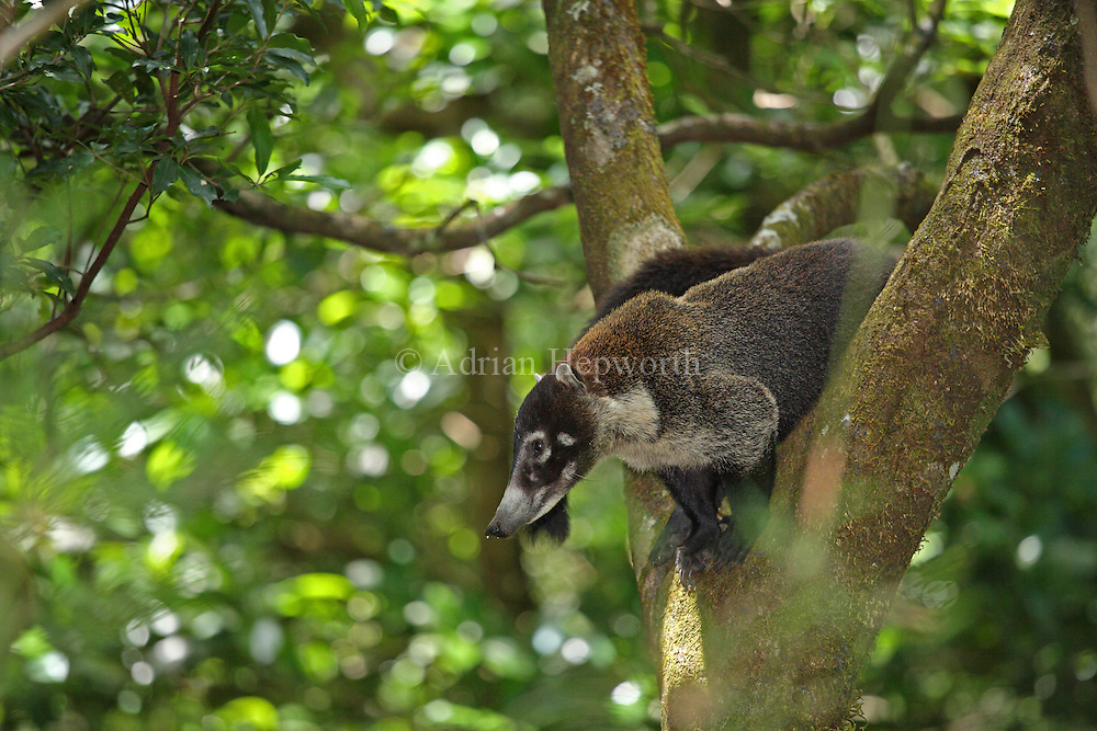 White-nosed Coati (Nasua narica) in rainforest, Rincon de la Vieja National Park, Costa Rica. <br />