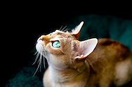 Singapura cat , big green eyes, looking up, lit by available lighting from window, which is not in view. A pedigreed, purebred cat, Singapuras are small cats with large eyes and ears, and sepia agouti fut, affectionate and climbers.