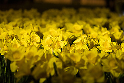 Marie Curie celebrates its Great Daffodil Appeal with an installation of 2,100 handmade daffodils called Garden of Light in Edinburgh's St Andrew Square.