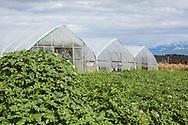 Utsikt över bergsmassiv med glaciärer och tunnelväxthus. Oceanside Farms, Homer, Alaska, USA