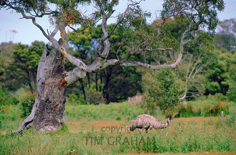 An emu roaming in the Australian bush.