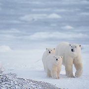 Polar bear (Ursus maritimus) mother and cubs. Hudson Bay, Canada