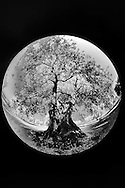 Infra Red Black & White fisheye view of ancient olive tree, Pienza, Italy, Tuscany