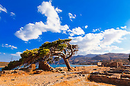 A pine tree, withstanding the winds of time, rests on the South end of Spinalonga Island in Elounda, Crete.