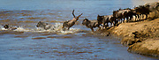 Herds of wildebeests crossing Mara River (Kenya) as a part of their annual great migration. Photo from August 2014.