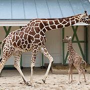Amsterdam, 04-03-2014. Onder toeziend oog van een groot aantal bezoekers ging de pasgeboren giraffe in Artis voor het eerst naar buiten. Eerst kwam moeder Iwana, daarna haar jong. Het is een merrie en ze heeft de naam Nzuri gekregen. Dat betekent mooi in het Swahili. Toen Nzuri eenmaal gewend was op het perk, maakte ze haar eerste galopsprongetjes. Nzuri is zaterdagmiddag 1 maart om 14.45 uur geboren. De geboorte is goed verlopen. Het veulen drinkt al goed bij haar moeder.