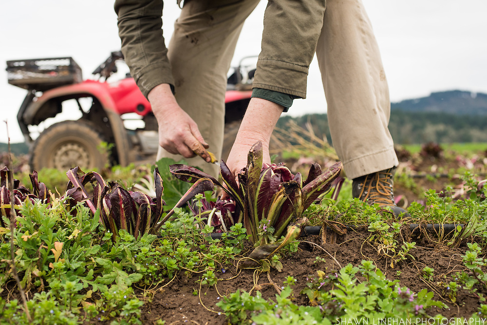 Anthony and Carol Boutard of Ayers Creek Farm have been cultivating and adapting a Radicchio Teviso chicory to the growing conditions of the Willamette Valley for many years. They have named their cultivated  variety Arch Cape.