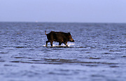 A feral pig (Sus scrofa) wading in the shallows of the Gulf Of Mexico. Aransas National Wildlife Refuge, Texas.