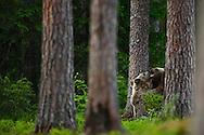 Cachoros de Oso Pardo, Finlandia