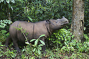 Sumatran Rhinoceros <br /> Dicerorhinus sumatrensis<br /> Sumatran Rhino Sanctuary, Way Kambas National Park, Indonesia<br /> *Critically Endangered<br /> *Captive