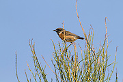 European Stonechat (Saxicola rubicola) on a bush in the desert, wintering in negev, israel