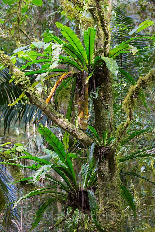 Bird's Nest Ferns, Asplenium australasicum, in subtropical rainforest, Border Ranges National Park, NSW, Australia